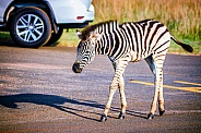 Burchells Zebra Foal