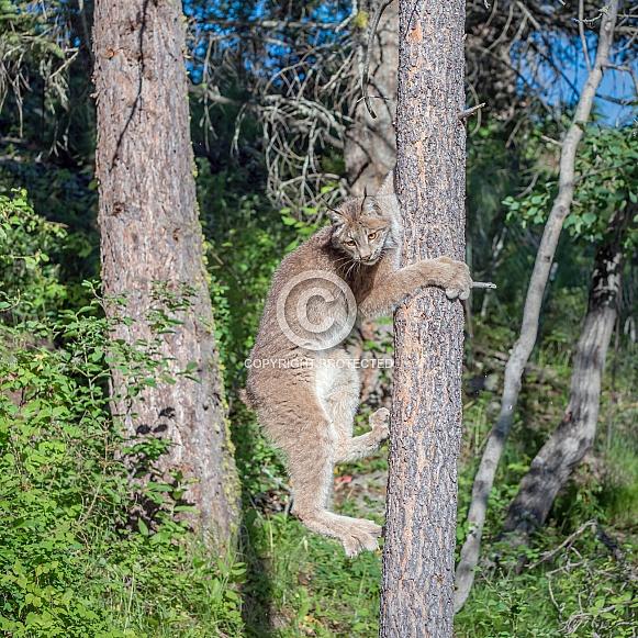 Canada Lynx Climbing Trees