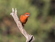 Hepatic Tanager Perching on a Saguaro Skeleton