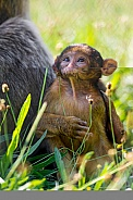 Baby Macaque.