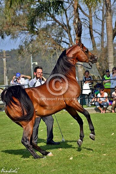 Arabian Stallion II