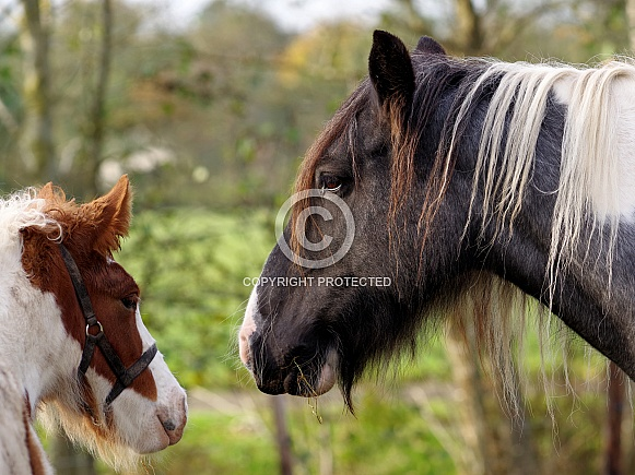 Tinker horse mare & foal