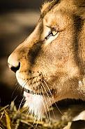 Lion very close up