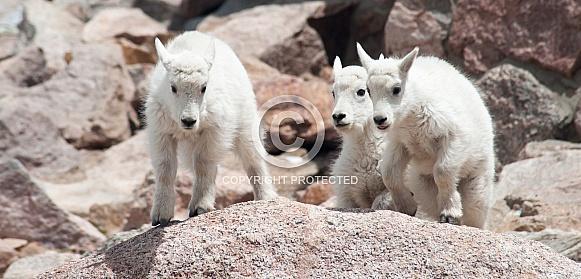 Wild mountain goat kids