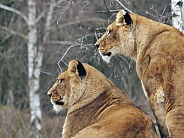 African Lionnesses