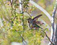 Anna's Hummingbird Female or Immature