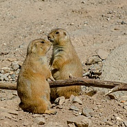 Prairie Dog Pair on Alert