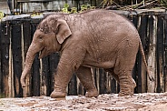 Young Asian Elephant Side View Full Body
