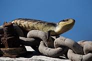 Blue tongue lizard.