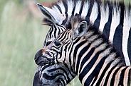 Zebra South Africa Wild