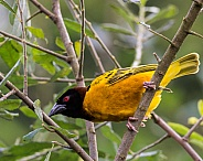 Weaver bird-male