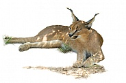 Caracal SA Kruger Park