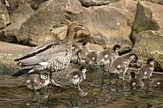Australian wood duck family (wild).