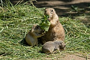 prairie dog family