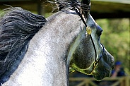 Arabian Stallion Cropped