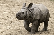 Greater One Horned Rhino Calf Full Body