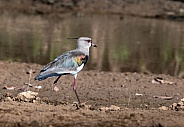 Southern Lapwing by a Pond