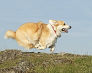 Pembroke Corgi Running from Side