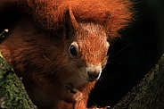 Red Squirrel looking forward