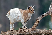 Young Goat on Log