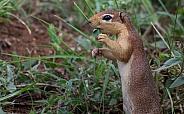 African Squirrel