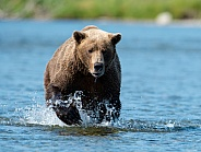 Brown Bear running after a fish