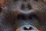 Ramon, Bornean Orangutan