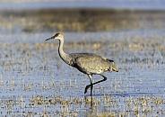 Sandhill crane wading through a flooded field