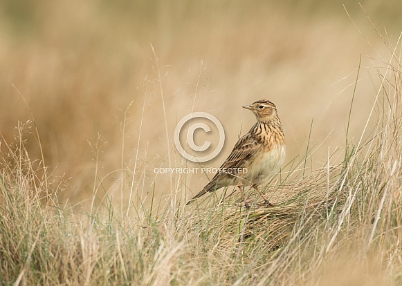 Common Skylark