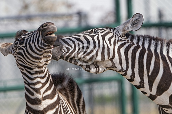 Zebras Interacting