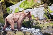 Lone grizzly bear cub profile