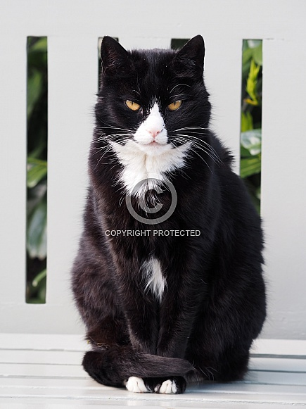 Cat (Felis catus)