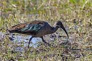 African Glossy Ibis - Okavango Delta - Botswana