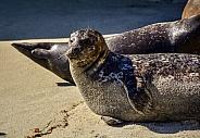 La Jolla Beach Seals