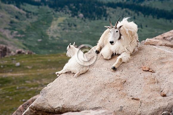 Wild Mountain Goat with kid