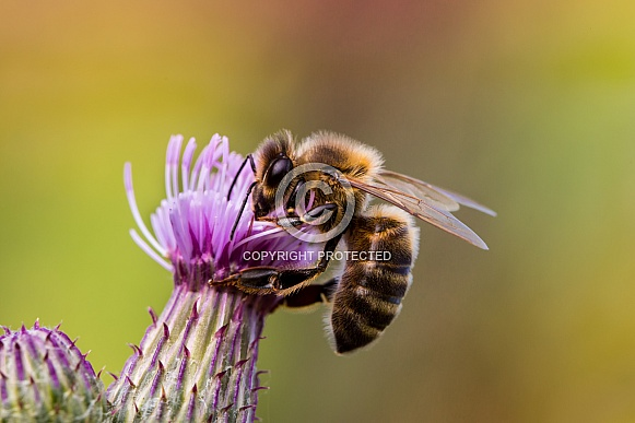 Honey Bee on Thistle Close up