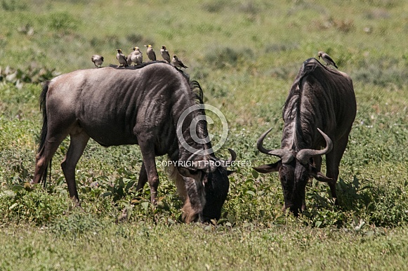 Wildebeest with Wattled Starlings