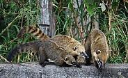 Coati Family