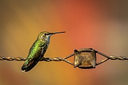 Hummingbird on Wire