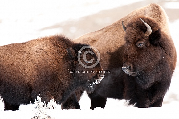 Wild Bison