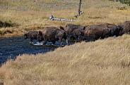 Bison herd crossing the Nez Perce Creek