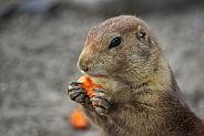 Prairie Dog (2)