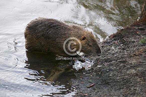 Coypu aka Nutria Rat