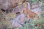 Mountain Lion up a Tree
