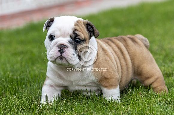 Bulldog puppy exploring the grass outside