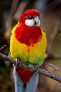 Eastern Rosella Parrot