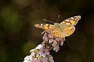 Australian painted lady (wild)