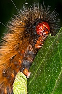 Spilosoma Caterpillar
