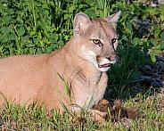 Mountain Lion Portrait