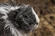 Guinea Pig Close Up Side Profile